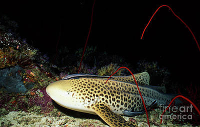 Zebra Shark With Remora, Thailand Print by Beverly Factor
