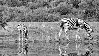 Zebras Print by Lynn Bolt