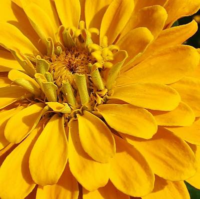Zinnia Close Up Print by Bruce Bley
