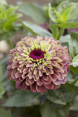 Zinnia Elegans Queen Red Lime Variety Print by VisionsPictures