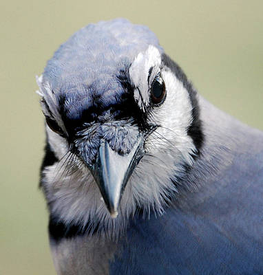 Bluejay Photograph -  Blue Jay by Skip Willits