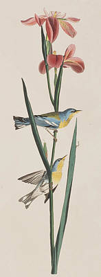 Warbler Painting -  Blue Yellow-backed Warbler by John James Audubon