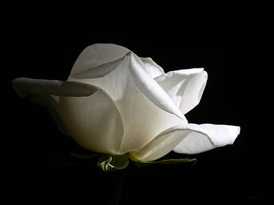 Ivory Rose Photograph -  Evening Light White Rose Flower by Jennie Marie Schell