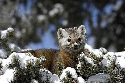 Greater Yellowstone's Marten  Print by Wildlife Fine Art