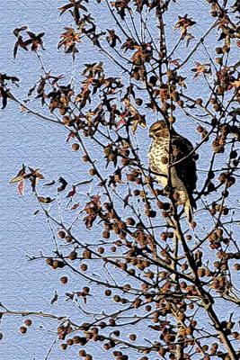 Photograph -  Hiding Hawk by Alan Skonieczny