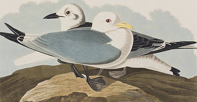 Seagull Drawing -  Kittiwake Gull by John James Audubon