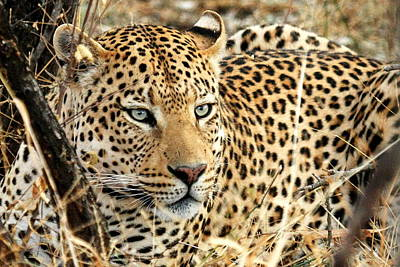 Leopard Photograph -  Leopard Eyes by Tom Cheatham