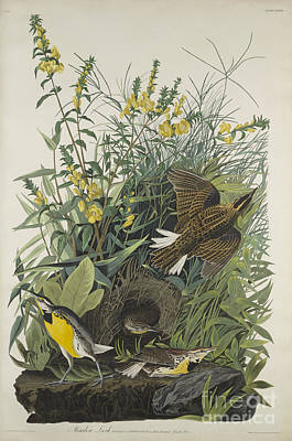 Lark Painting -  Meadow Lark, From The Birds Of America by John James Audubon