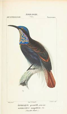 Nouvelle Guinee Print by Zoological Atlas