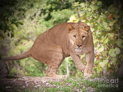 Ready To Pounce Print by Judy Kay