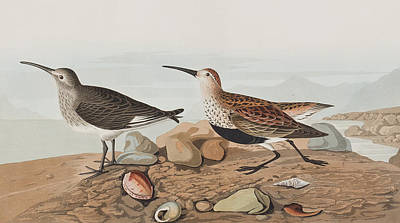 Beach Drawing -  Red Backed Sandpiper by John James Audubon