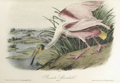 Spoonbill Painting -  Roseate Spoonbill. Male by John James