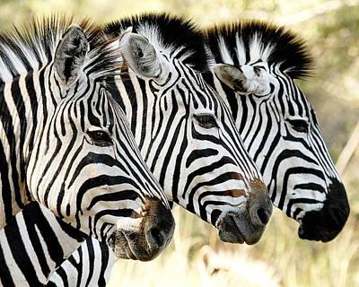 Zebra Photograph -  Three Zebras by Tom Cheatham