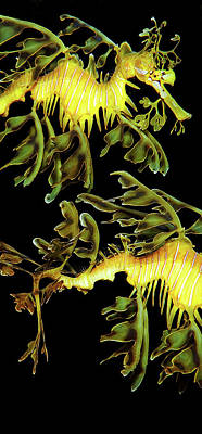 Leafy Sea Dragon Photograph - 3 Horses by James Roemmling