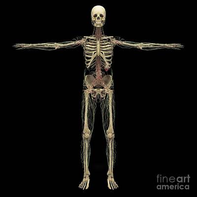 Human Skeleton Digital Art - 3d Rendering Of Human Lymphatic System by Stocktrek Images