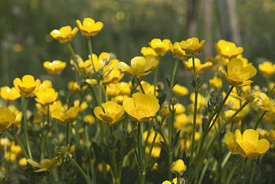 Photograph - A Field Of Yellow Buttercups by John Short