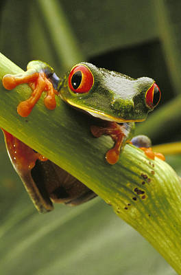 Tree Frog Photograph - A Red-eyed Tree Frog Agalychnis by Steve Winter