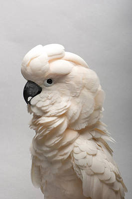 Cockatoo Photograph - A Salmon-crested Cockatoo by Joel Sartore