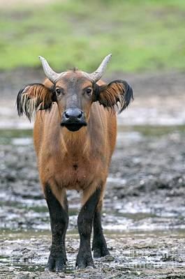 Sangha Photograph - African Forest Buffalo by Tony Camacho