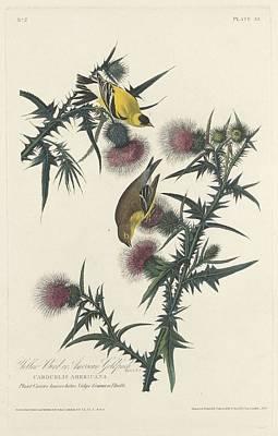Yellow Beak Drawing - American Goldfinch by John James Audubon