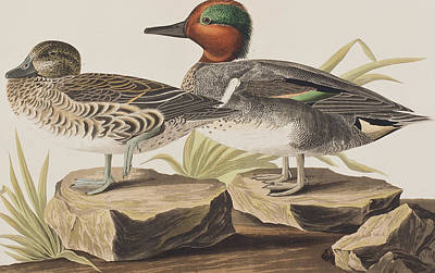 Duck Drawing - American Green-winged Teal by John James Audubon