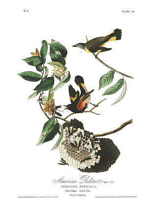 Bird Painting - American Redstart by John Audubon