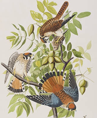 Hawk Drawing - American Sparrow Hawk by John James Audubon
