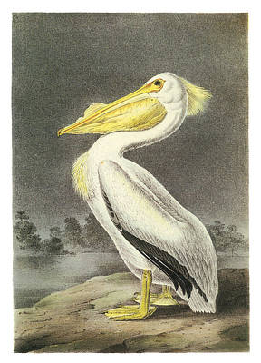 Waterfowl Painting - American White Pelican by John James Audubon