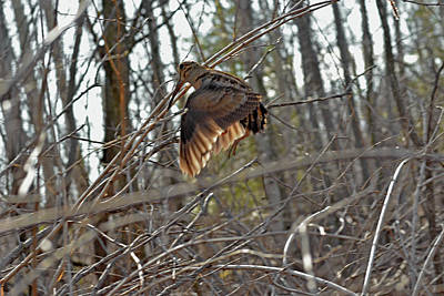 Woodcock Photograph - American Woodcock's Flight When She Has Chicks by Asbed Iskedjian