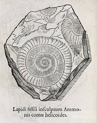 Ammonite Fossil, 16th Century Print by Middle Temple Library