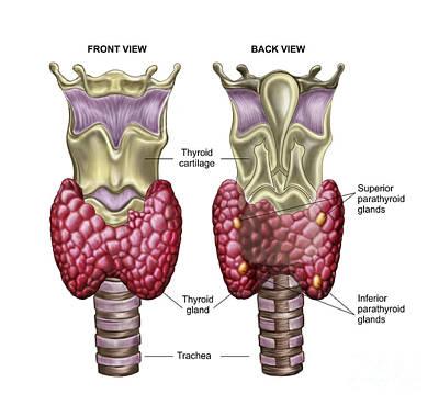Internal Organs Digital Art - Anatomy Of Thyroid Gland With Larynx & by Stocktrek Images