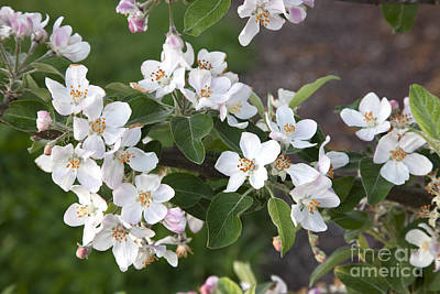Apple Blossoms Print by Inga Spence