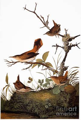 Wren Photograph - Audubon: Wren by Granger