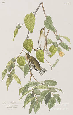 Warbler Drawing - Autumnal Warbler by John James Audubon