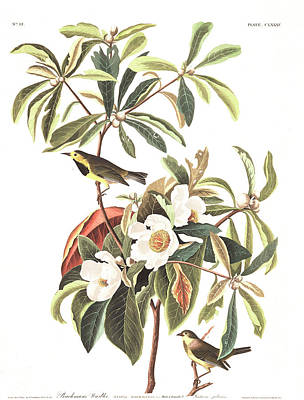 Warbler Drawing - Bachman's Warbler  by John James Audubon