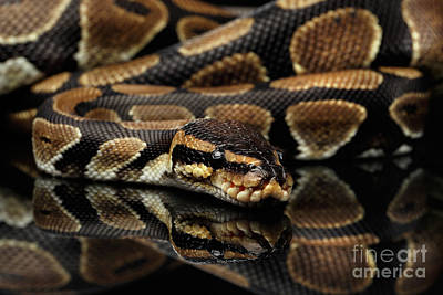 Ball Or Royal Python Snake On Isolated Black Background Print by Sergey Taran