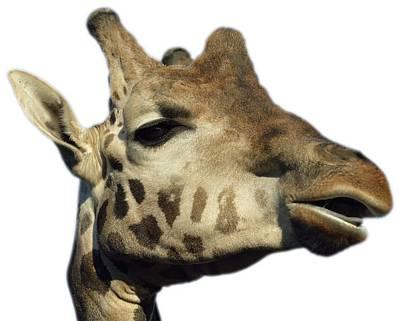 Women Photograph - Baringo Giraffe by George Atsametakis