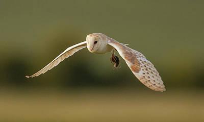 Barn Photograph - Barn Owl by Paul Neville