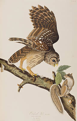 Squirrel Painting - Barred Owl by John James Audubon