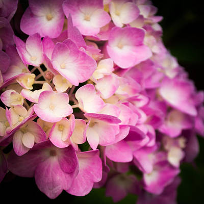 Annabelle Photograph - Beautiful Pinks by Parker Cunningham