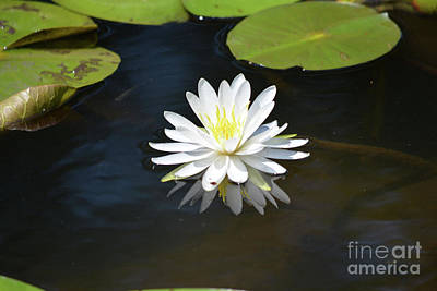 Beautiful Water Lily  Print by Ruth Housley