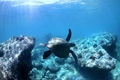 Hawaii Sea Turtle Photograph - Between Two Rocks by Sean Davey
