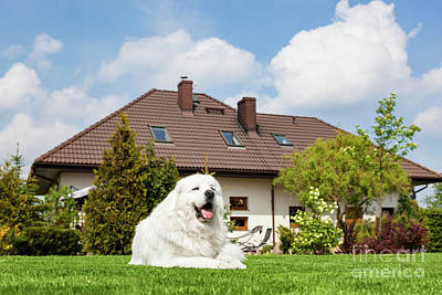 Purebred Photograph - Big Guard Dog Resting In Front Of The House. Polish Tatra Sheepdog by Michal Bednarek