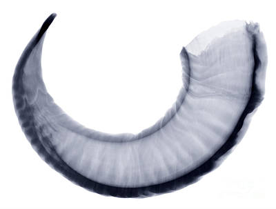 Ram Horn Photograph - Bighorn Sheep Horn, X-ray by Ted Kinsman