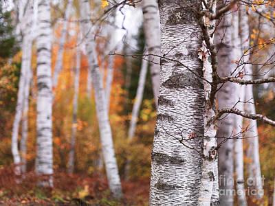 Birch Trees Fall Scenery Print by Oleksiy Maksymenko