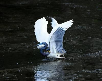 Bird Brawl Print by Al Powell Photography USA