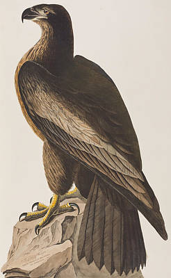 Eagle Painting - Bird Of Washington by John James Audubon