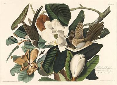 Cuckoo Drawing - Black-billed Cuckoo by John James Audubon