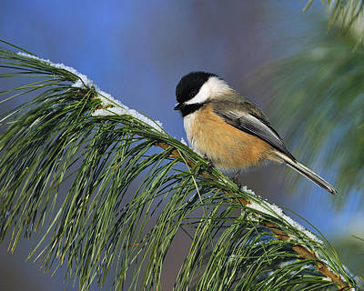Black-capped Chickadee Print by Tony Beck