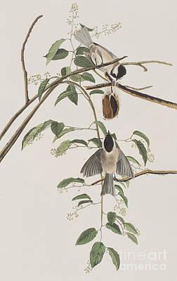 Titmouse Drawing - Black Capped Titmouse by John James Audubon